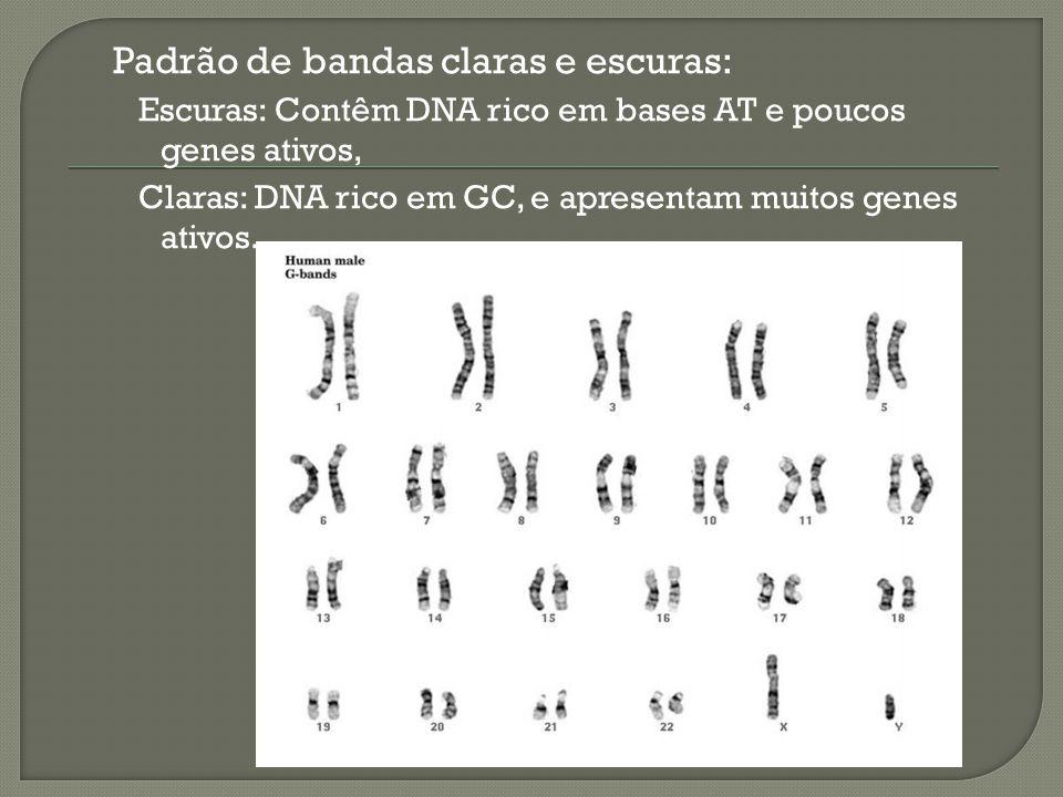 Padrão de bandas claras e escuras: Escuras: Contêm DNA rico em bases AT e poucos genes ativos, Claras: DNA rico em GC, e apresentam muitos genes ativo