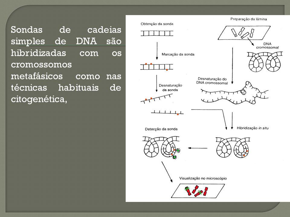 Sondas de cadeias simples de DNA são hibridizadas com os cromossomos metafásicos como nas técnicas habituais de citogenética,
