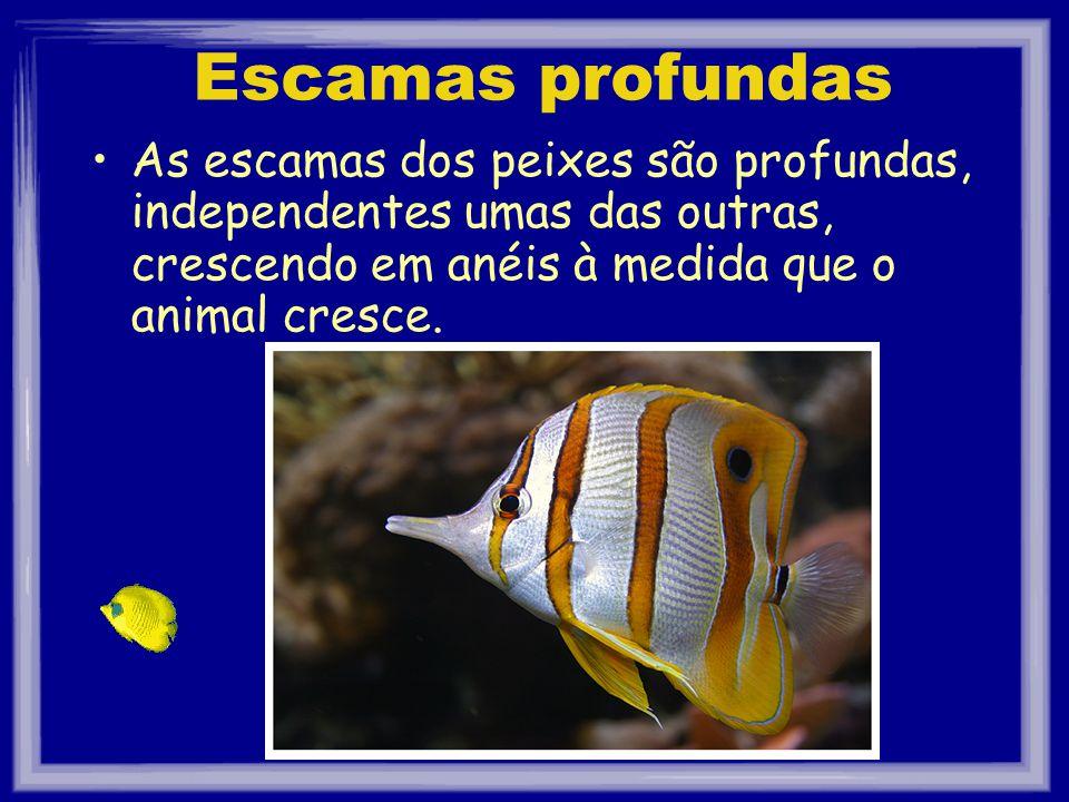 Escamas profundas As escamas dos peixes são profundas, independentes umas das outras, crescendo em anéis à medida que o animal cresce.