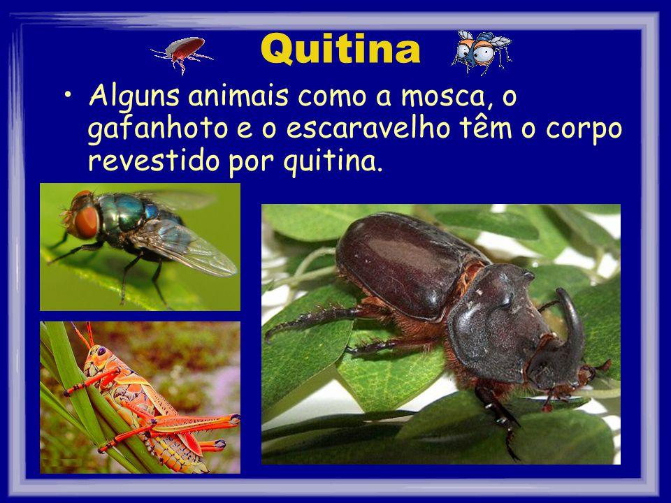Quitina Alguns animais como a mosca, o gafanhoto e o escaravelho têm o corpo revestido por quitina.