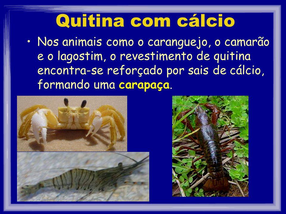 Quitina com cálcio Nos animais como o caranguejo, o camarão e o lagostim, o revestimento de quitina encontra-se reforçado por sais de cálcio, formando