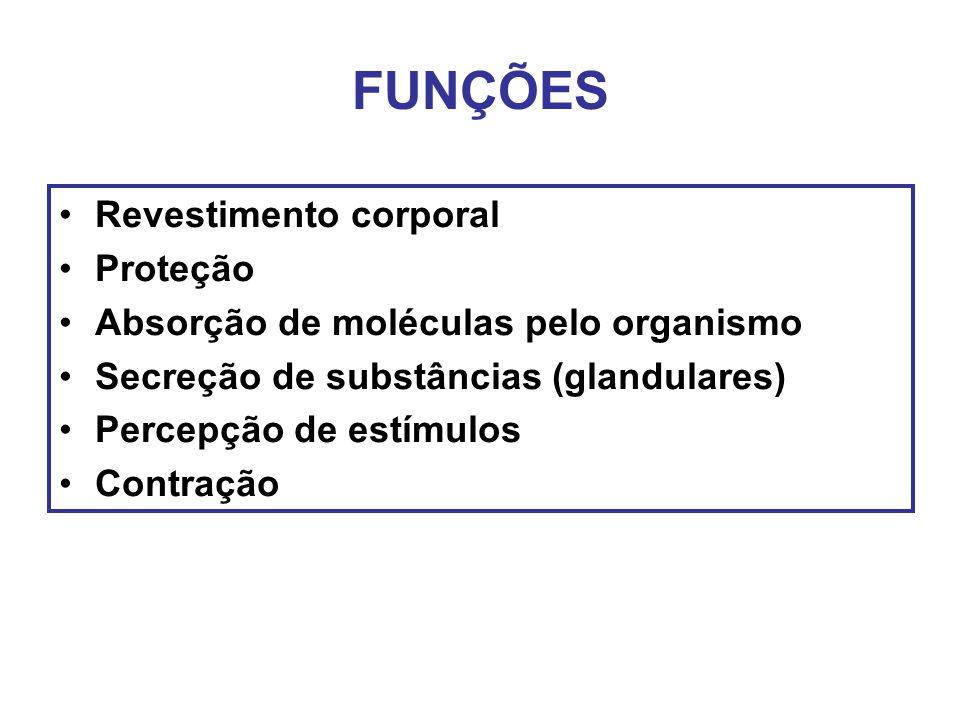 FUNÇÕES Revestimento corporal Proteção Absorção de moléculas pelo organismo Secreção de substâncias (glandulares) Percepção de estímulos Contração