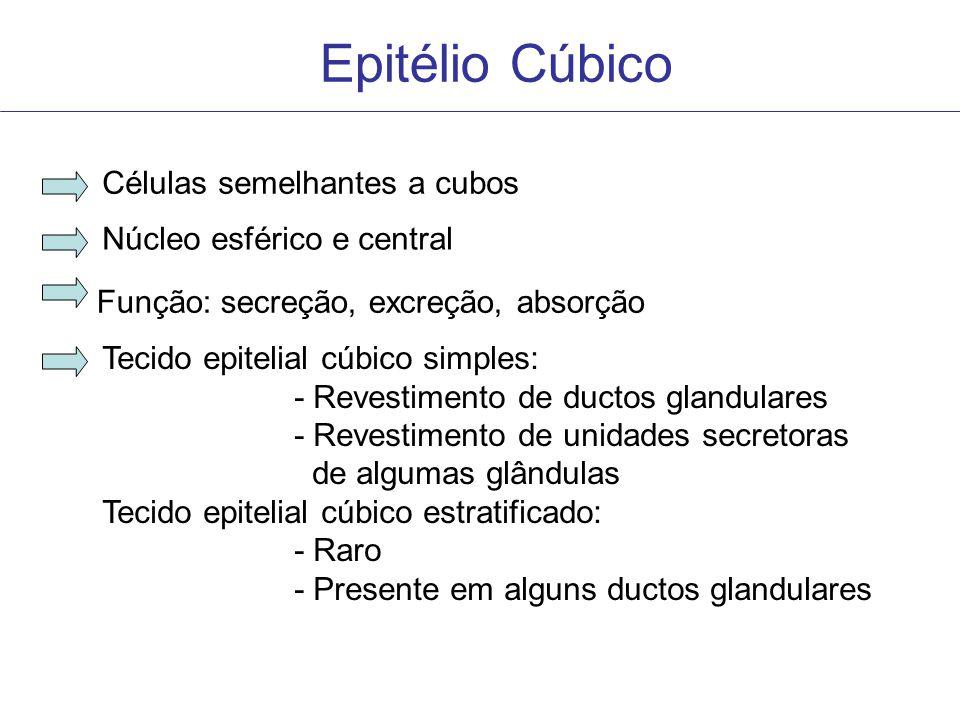 Epitélio Cúbico Células semelhantes a cubos Núcleo esférico e central Tecido epitelial cúbico simples: - Revestimento de ductos glandulares - Revestim