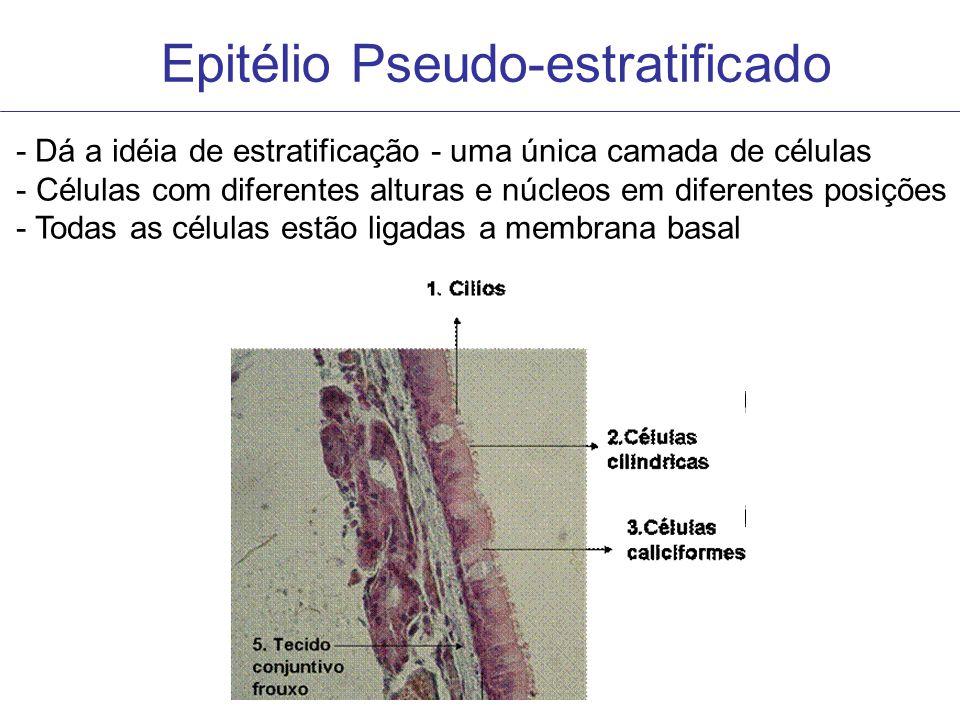 Epitélio Pseudo-estratificado - Dá a idéia de estratificação - uma única camada de células - Células com diferentes alturas e núcleos em diferentes po