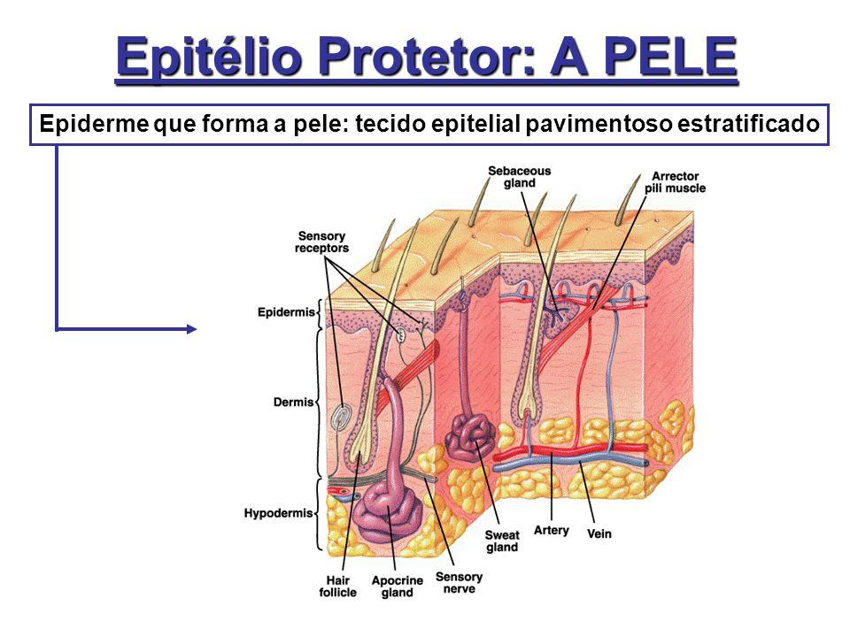 Epitélio Protetor: A PELE Epiderme que forma a pele: tecido epitelial pavimentoso estratificado