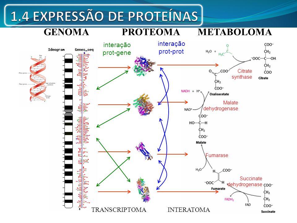 GENOMA PROTEOMA TRANSCRIPTOMA interação prot-gene METABOLOMA Citrate synthase Malate dehydrogenase Fumarase Succinate dehydrogenase INTERATOMA interaç