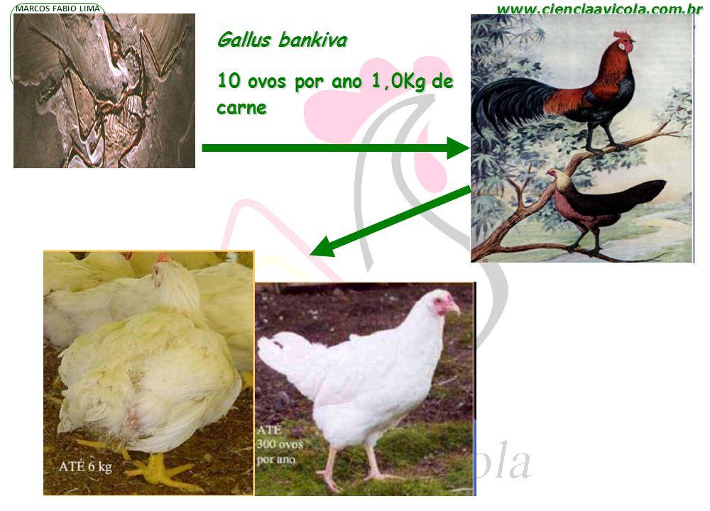 www.cienciaavicola.com.br @marcosfabiovet MARCOS FABIO LIMA P N A H Gallus bankiva 10 ovos por ano 1,0Kg de carne