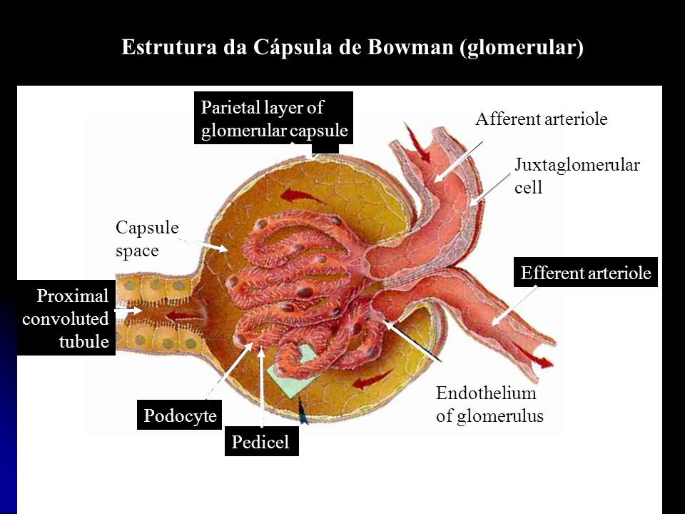 Proximal convoluted tubule Capsule space Efferent arteriole Pedicel Podocyte Endothelium of glomerulus Afferent arteriole Juxtaglomerular cell Parieta