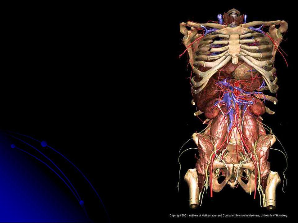 Localização e características Os rins situam-se na parte dorsal do abdome, logo abaixo do diafragma, um de cada lado da coluna vertebral, nessa posição estão protegidos pelas últimas costelas e também por uma camada de gordura.