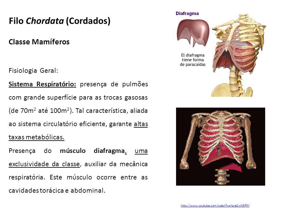 Classe Mamíferos Fisiologia Geral: Sistema Respiratório: presença de pulmões com grande superfície para as trocas gasosas (de 70m 2 até 100m 2 ). Tal