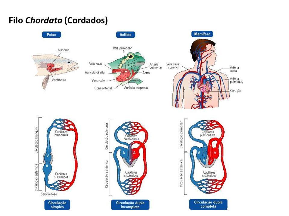 Classe Mamíferos Fisiologia Geral: Sistema Circulatório: presença de coração com 4 cavidades (2A e 2V) sem comunicação entre as mesmas (circulação completa).
