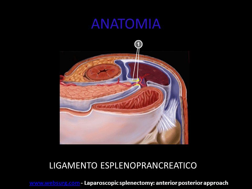 ANATOMIA LIGAMENTO GASTROESPLÊNICO www.websurg.comwww.websurg.com - Laparoscopic splenectomy: anterior posterior approach