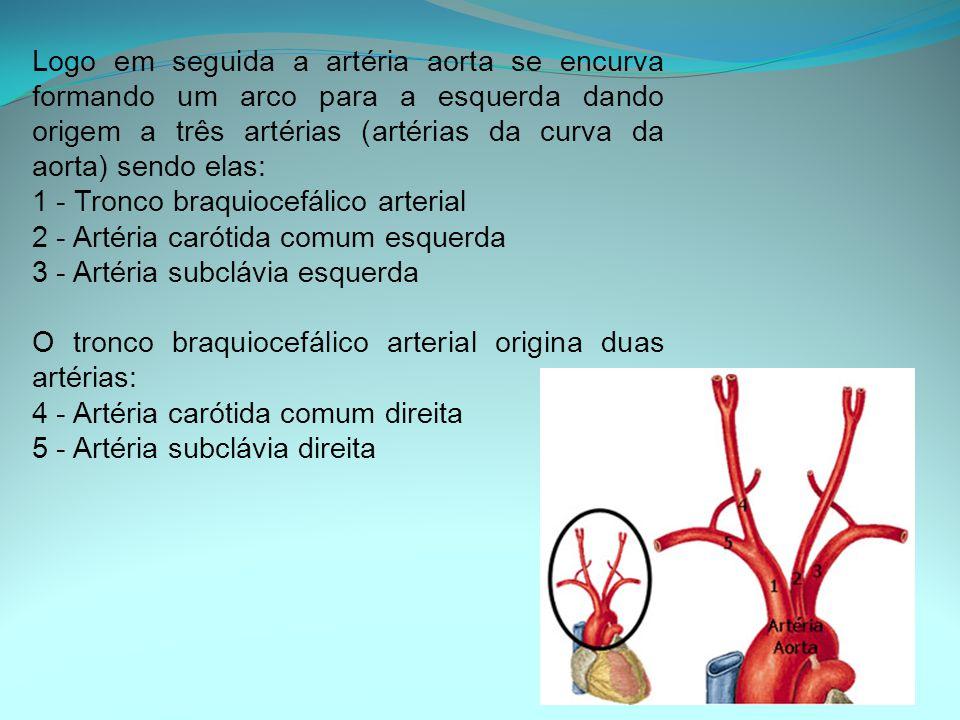 Logo em seguida a artéria aorta se encurva formando um arco para a esquerda dando origem a três artérias (artérias da curva da aorta) sendo elas: 1 - Tronco braquiocefálico arterial 2 - Artéria carótida comum esquerda 3 - Artéria subclávia esquerda O tronco braquiocefálico arterial origina duas artérias: 4 - Artéria carótida comum direita 5 - Artéria subclávia direita