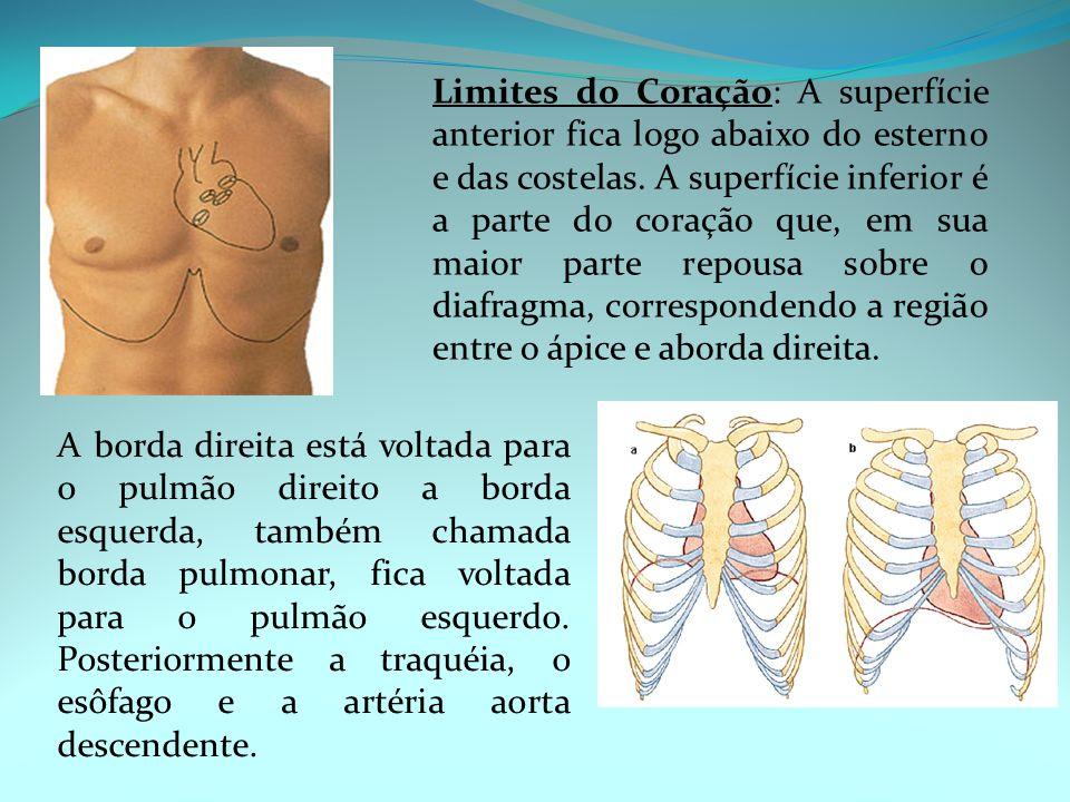 Limites do Coração: A superfície anterior fica logo abaixo do esterno e das costelas. A superfície inferior é a parte do coração que, em sua maior par
