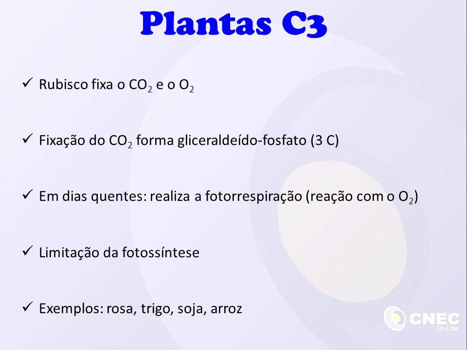Plantas C3 Rubisco fixa o CO 2 e o O 2 Fixação do CO 2 forma gliceraldeído-fosfato (3 C) Em dias quentes: realiza a fotorrespiração (reação com o O 2