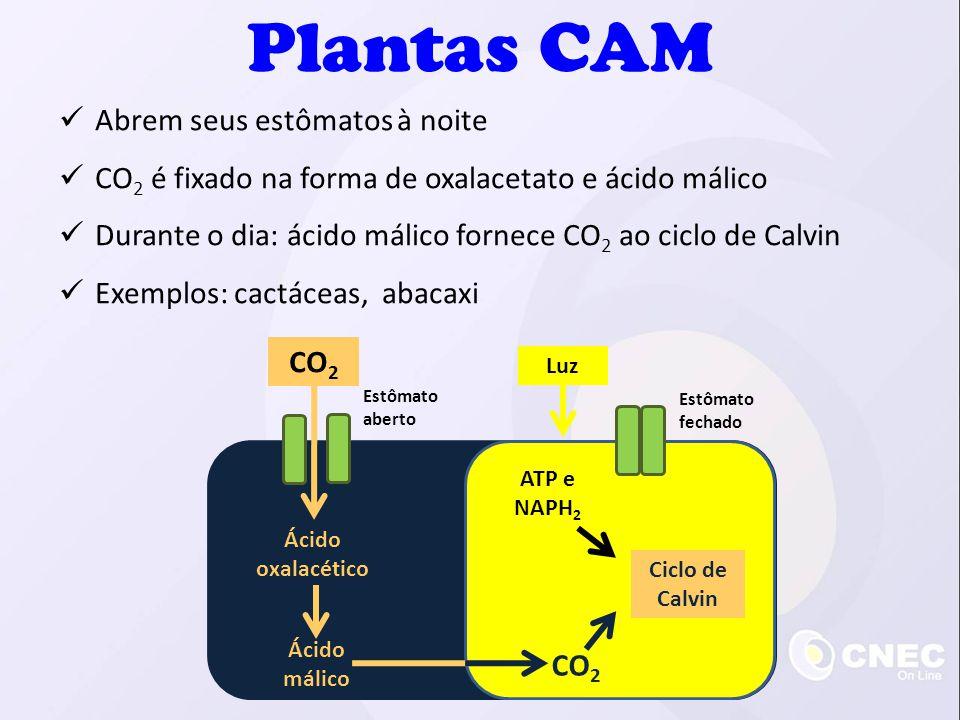 Plantas CAM Abrem seus estômatos à noite CO 2 é fixado na forma de oxalacetato e ácido málico Durante o dia: ácido málico fornece CO 2 ao ciclo de Cal
