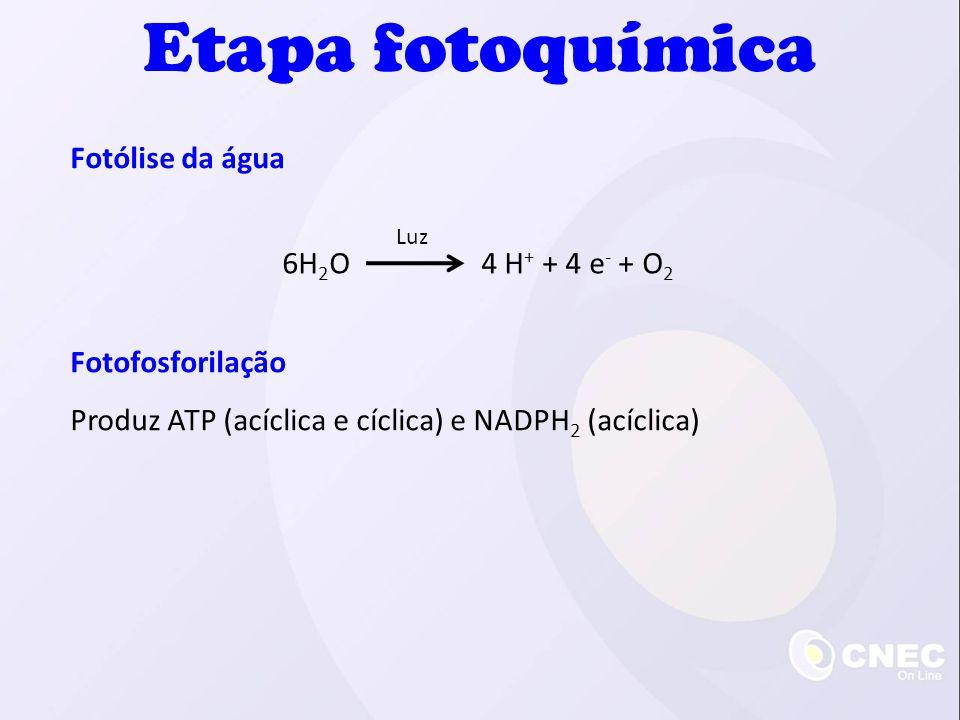 Fotólise da água Etapa fotoquímica 6H 2 O 4 H + + 4 e - + O 2 Luz Fotofosforilação Produz ATP (acíclica e cíclica) e NADPH 2 (acíclica)
