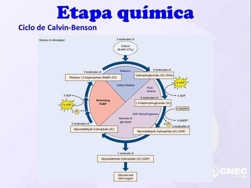 Ciclo de Calvin-Benson Etapa química