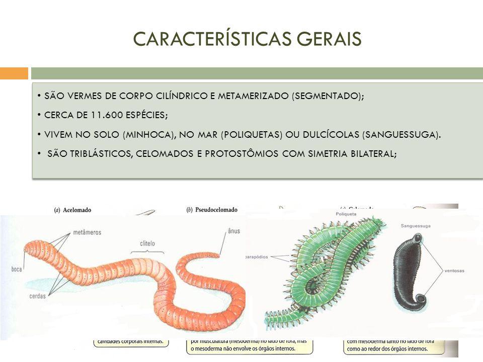 CARACTERÍSTICAS GERAIS SÃO VERMES DE CORPO CILÍNDRICO E METAMERIZADO (SEGMENTADO); CERCA DE 11.600 ESPÉCIES; VIVEM NO SOLO (MINHOCA), NO MAR (POLIQUET