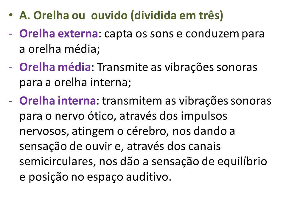 A. Orelha ou ouvido (dividida em três) -Orelha externa: capta os sons e conduzem para a orelha média; -Orelha média: Transmite as vibrações sonoras pa