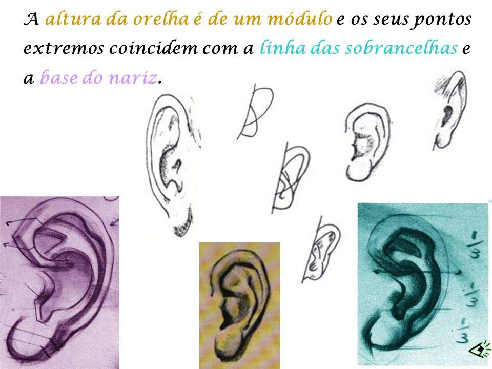 A altura da orelha é de um módulo e os seus pontos extremos coincidem com a linha das sobrancelhas e a base do nariz.