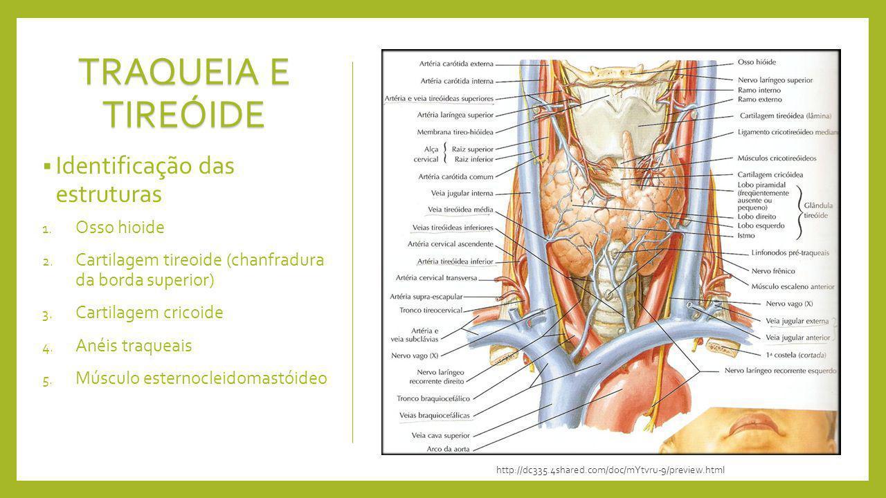 TRAQUEIA E TIREÓIDE Identificação das estruturas 1. Osso hioide 2. Cartilagem tireoide (chanfradura da borda superior) 3. Cartilagem cricoide 4. Anéis