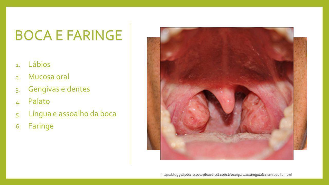 BOCA E FARINGE 1. Lábios 2. Mucosa oral 3. Gengivas e dentes 4. Palato 5. Língua e assoalho da boca 6. Faringe http://discoverybrasil.uol.com.br/curio