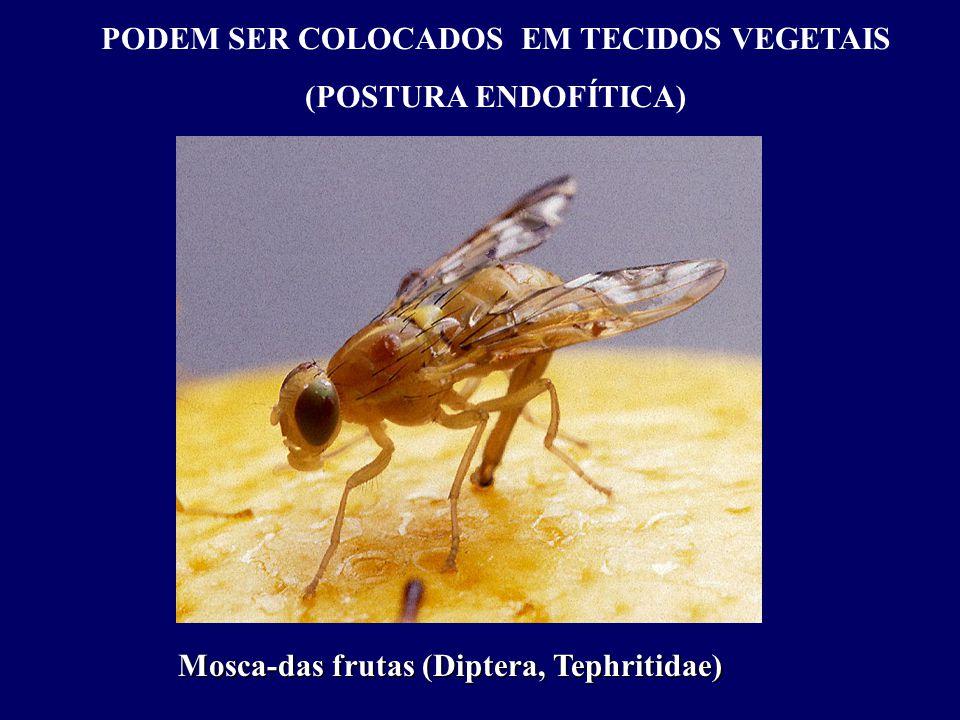 PODEM SER COLOCADOS EM TECIDOS VEGETAIS (POSTURA ENDOFÍTICA) Mosca-das frutas (Diptera, Tephritidae)