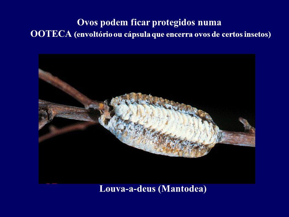 Ovos podem ficar protegidos numa OOTECA (envoltório ou cápsula que encerra ovos de certos insetos) Louva-a-deus (Mantodea)