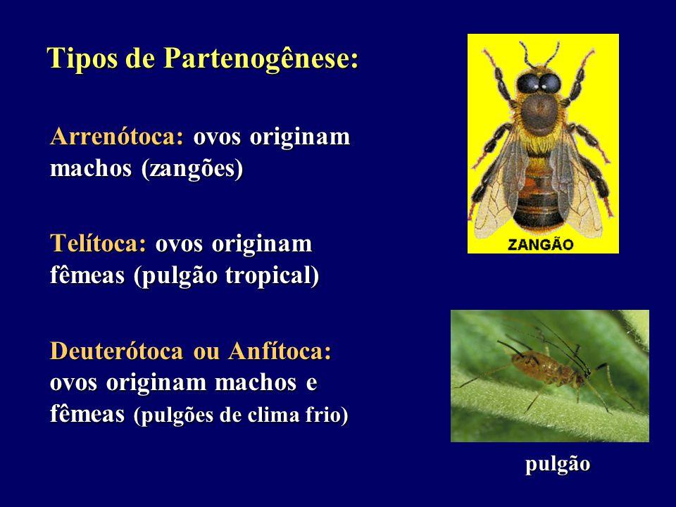 Tipos de Partenogênese: Tipos de Partenogênese: Arrenótoca: ovos originam machos (zangões) Telítoca: ovos originam fêmeas (pulgão tropical) Deuterótoca ou Anfítoca: ovos originam machos e fêmeas (pulgões de clima frio) pulgão