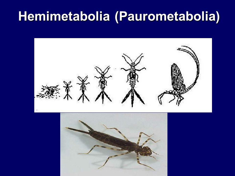 Hemimetabolia (Paurometabolia)