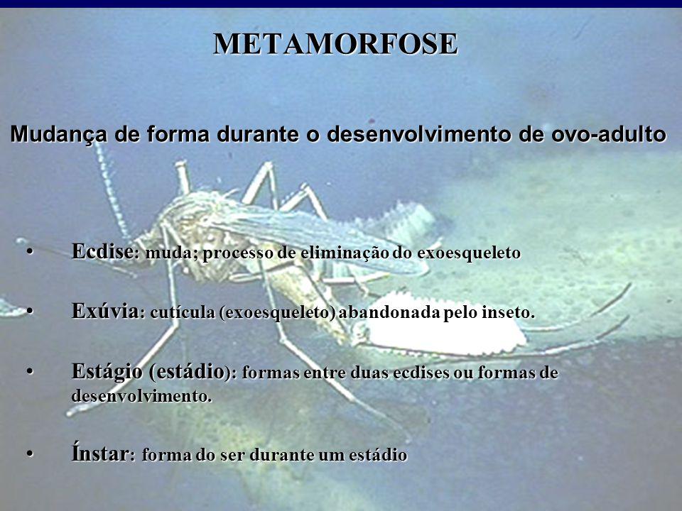 METAMORFOSE Ecdise : muda; processo de eliminação do exoesqueletoEcdise : muda; processo de eliminação do exoesqueleto Exúvia : cutícula (exoesqueleto) abandonada pelo inseto.Exúvia : cutícula (exoesqueleto) abandonada pelo inseto.