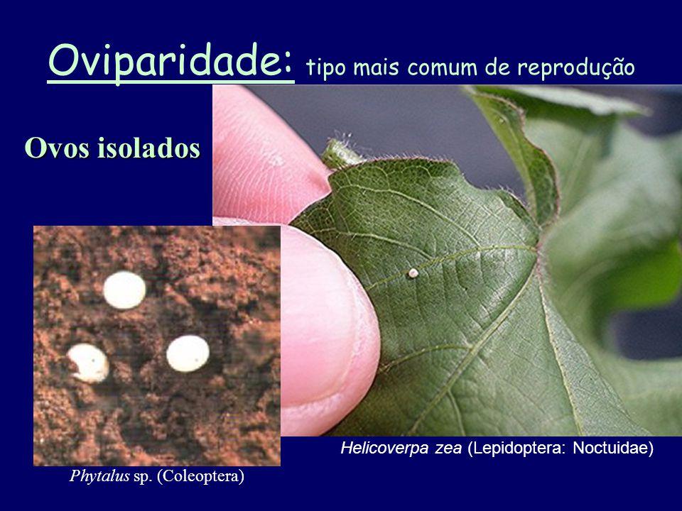 Desenvolvimento embrionário é completado dentro do corpo da fêmea que deposita larva ou ninfa em vez de ovos.