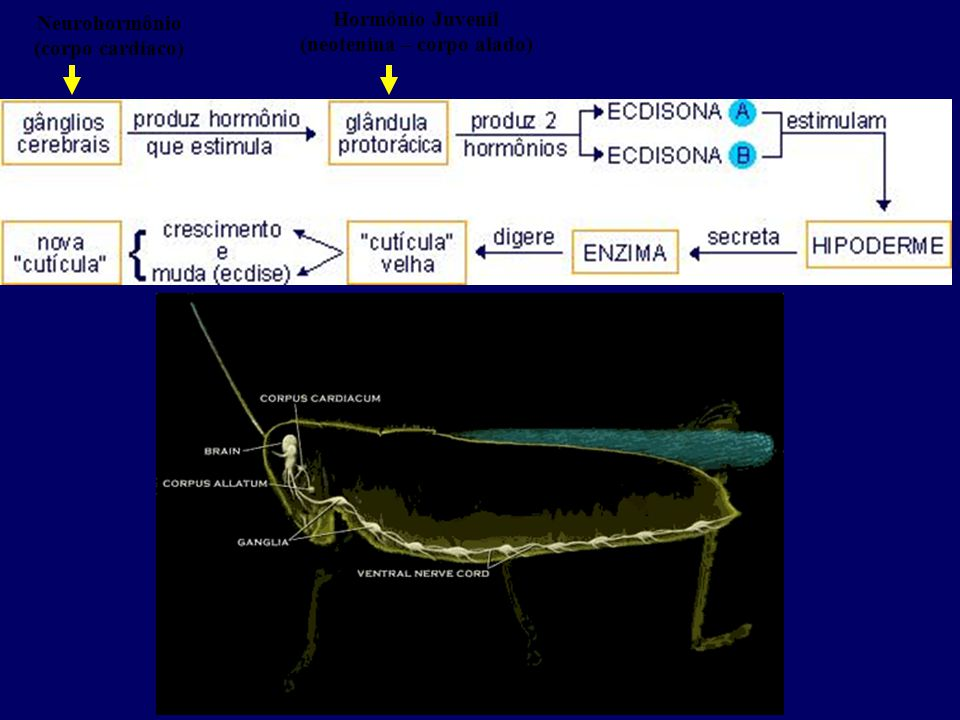 Hormônio Juvenil (neotenina – corpo alado) Neurohormônio (corpo cardíaco)