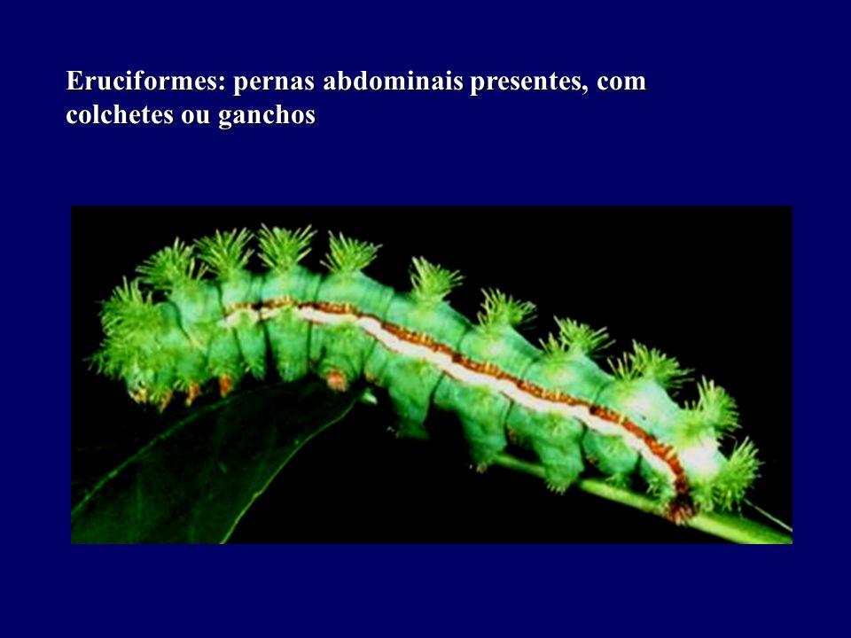 Eruciformes: pernas abdominais presentes, com colchetes ou ganchos