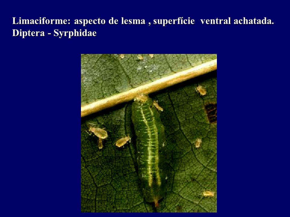 Limaciforme: aspecto de lesma, superfície ventral achatada. Diptera - Syrphidae