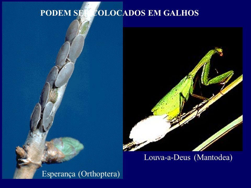 Esperança (Orthoptera) PODEM SER COLOCADOS EM GALHOS Louva-a-Deus (Mantodea)