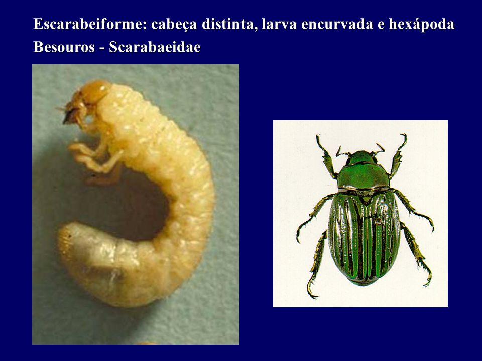 Escarabeiforme: cabeça distinta, larva encurvada e hexápoda Besouros - Scarabaeidae