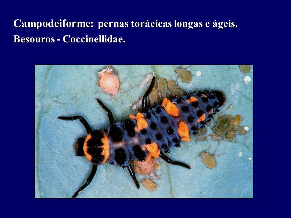 Campodeiforme : pernas torácicas longas e ágeis. Besouros - Coccinellidae.