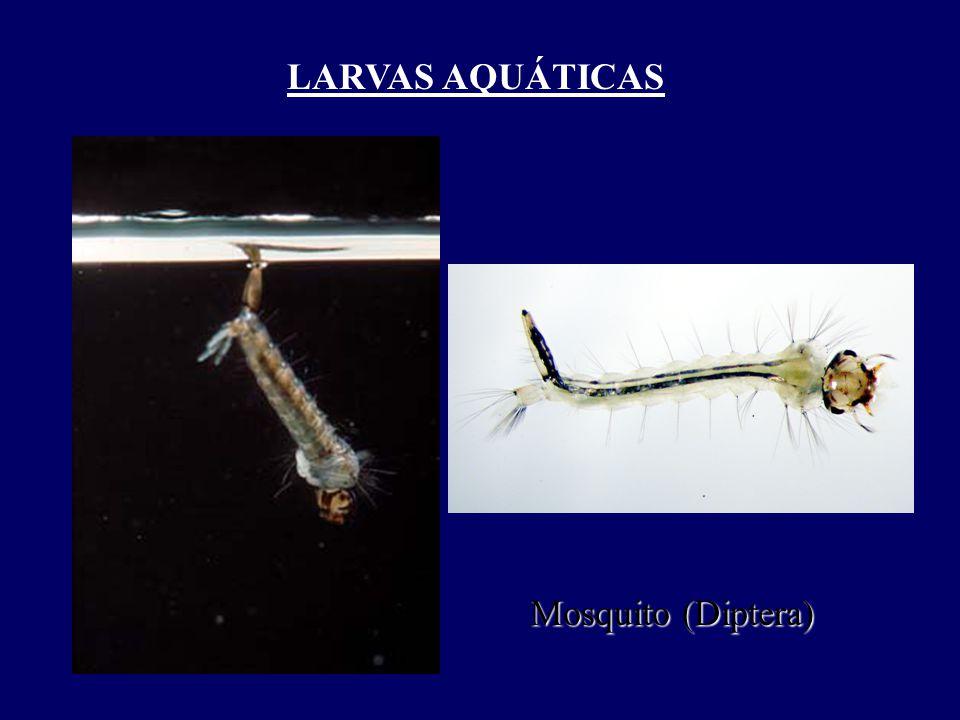 LARVAS AQUÁTICAS Mosquito (Diptera)