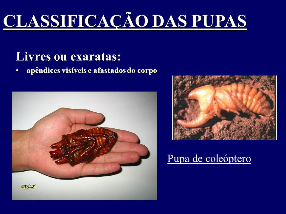Livres ou exaratas: apêndices visíveis e afastados do corpoapêndices visíveis e afastados do corpo Pupa de coleóptero CLASSIFICAÇÃO DAS PUPAS