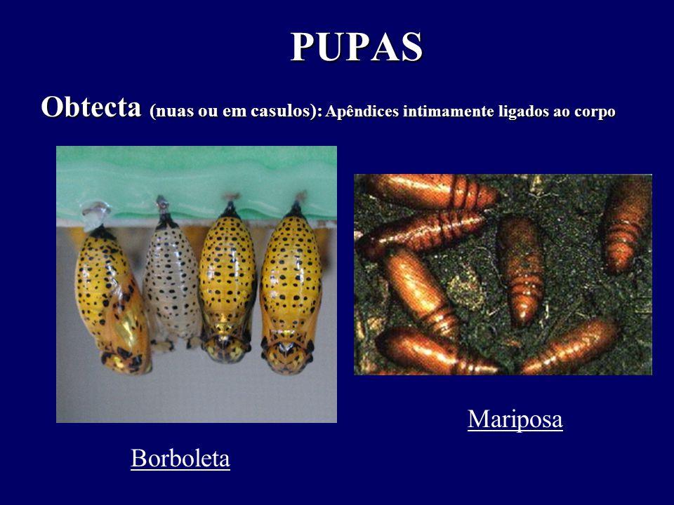 PUPAS PUPAS Obtecta (nuas ou em casulos): Apêndices intimamente ligados ao corpo Borboleta Mariposa