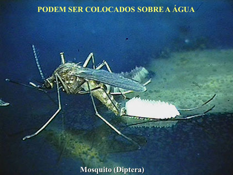 Vermiforme: ápoda, porção anterior afilada e posterior truncada - Larvas de moscas.