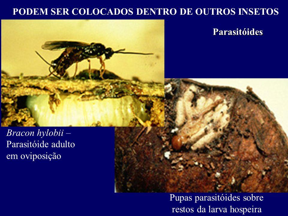 PODEM SER COLOCADOS DENTRO DE OUTROS INSETOS Parasitóides Bracon hylobii – Parasitóide adulto em oviposição Pupas parasitóides sobre restos da larva hospeira