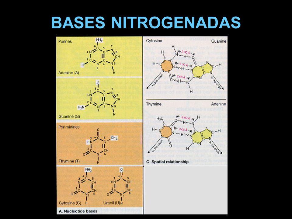 DOGMA CENTRAL A transferência de informações do núcleo para o citoplasma é um processo complexo nos eucariontes A ligação molecular entre o DNA e o código dos aminoácidos é o RNA Código genético: a seqüência de bases adjacentes determina a seqüência de aa nos polipeptídios codificados