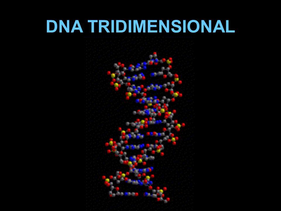 DNA TRIDIMENSIONAL