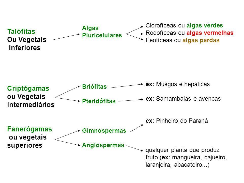 Briófita (ex: musgo)