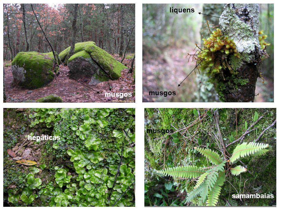Quais são as principais características das briófitas.