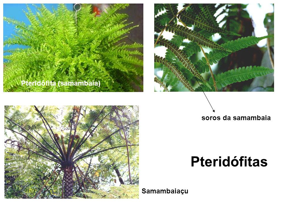 Pteridófita (samambaia) soros da samambaia Samambaiaçu Pteridófitas
