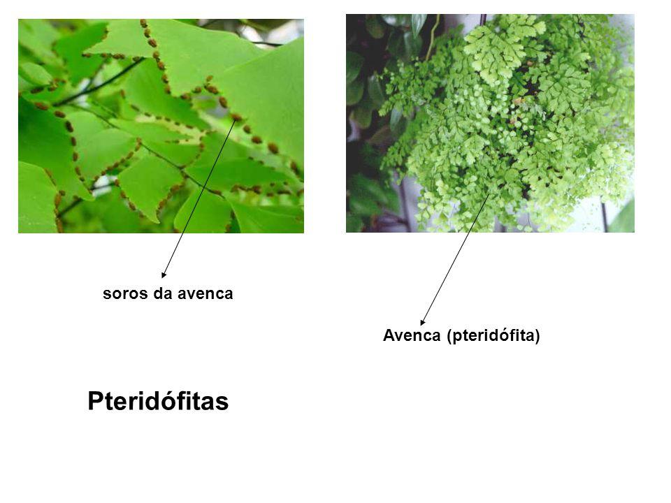 Gimnospermas (ex: Pinheiro do Paraná) Esporófito (2n) Esporângio (2n) Esporos (n) Gametófito (n) Gametas (n) Zigoto (2n) Esporófito (2n) possui uma região chamada que é a região onde ocorre meiose R.